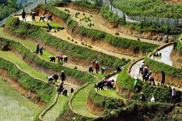 la culture du riz au Vietnam