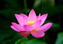 le lotus la fleur nationale du vietnam