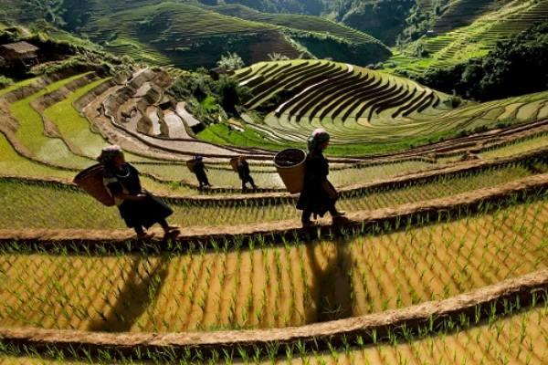Quand voir les rizieres en terrasses au nord vietnam 6