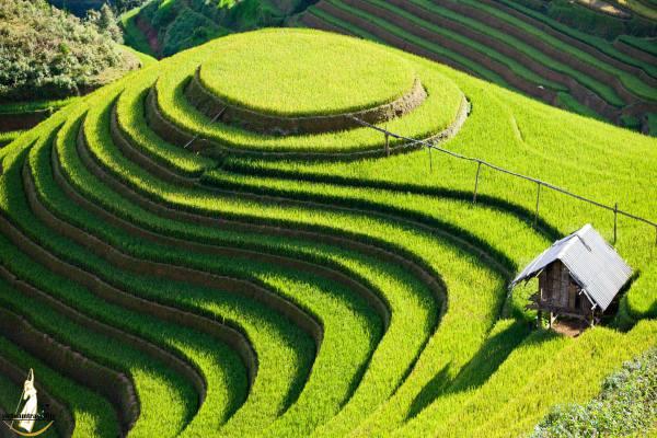 Quand voir les rizieres en terrasses au nord vietnam